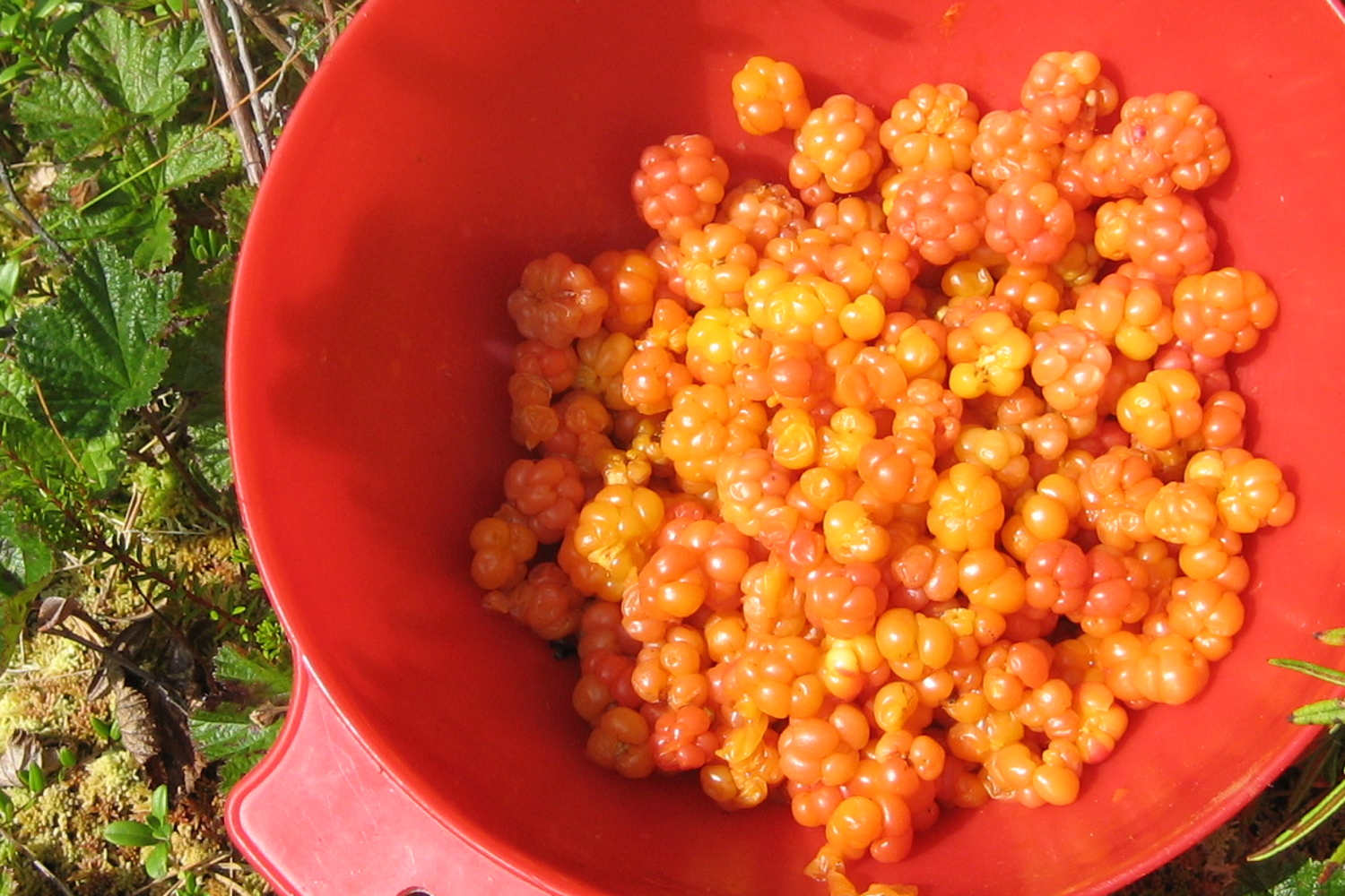 Cloudberries grow wild in alpine and artic regions